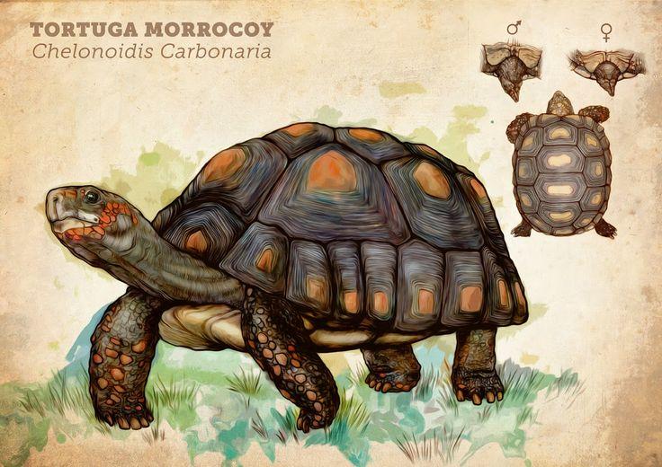 Diego Bohórquez - Tortuga Morrocoy - Chelonoidis c...