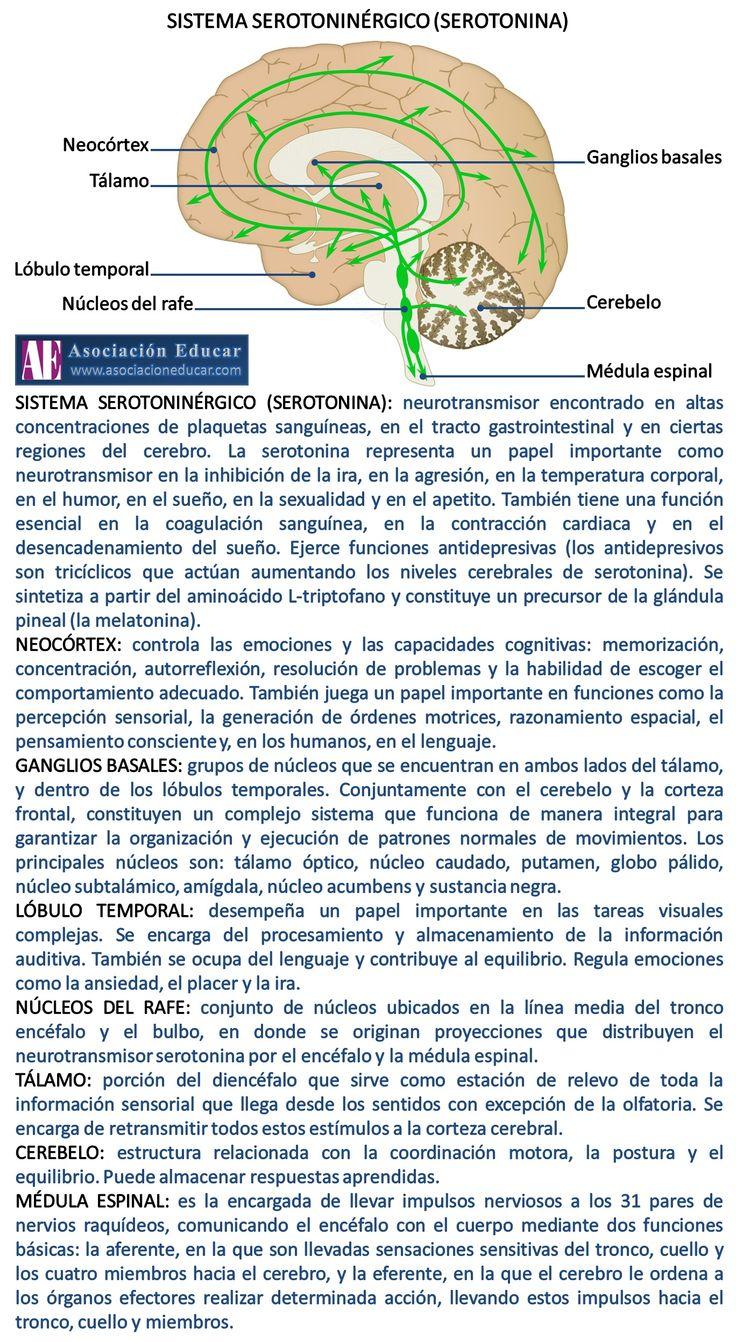 Infografía Neurociencias: Sistema serotoninérgico (serotonina). | Asociación Educar