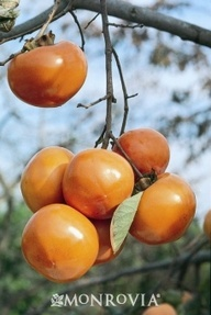 Giant Fuyu Japanese Persimmon; Full sun; regular watering - weekly; Moderate growing tree to 30 ft. tall, spreading wider.