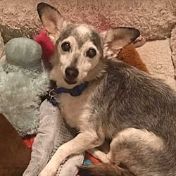 2/7/18  Simon a Chihuahua for adoption in New York, NY who needs a loving home. I'm Being Cared for by Waggytail Rescue