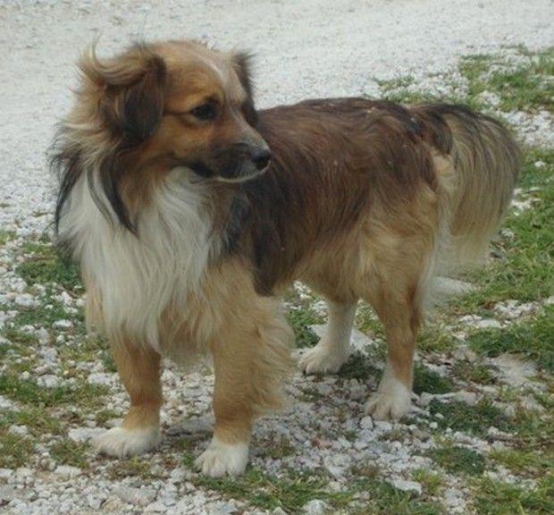 Dog Breed of the Day: Kokoni