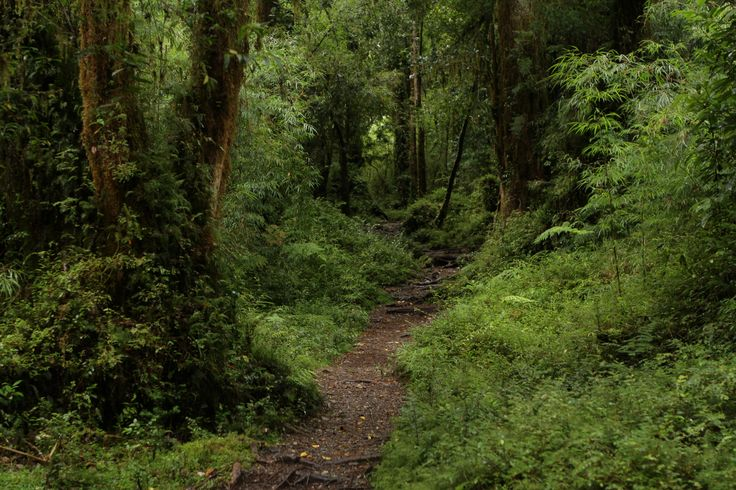 The Valdivian Temperate Rainforest, unique to the southern Chile latitudes. This trail leads to the Calbuco (Blue Waters in mapudungun) Volcano trail.