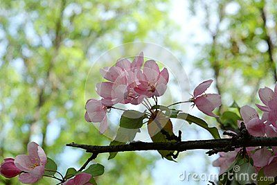 Blooming apple tree with delicate pink flowers on blurred background with trees. Malus Niedzwetzkyana.