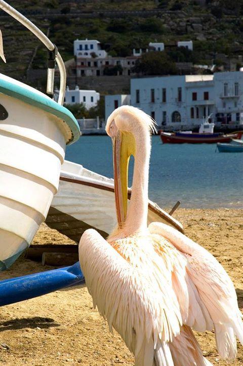 Pelican in Mykonos http://www.edeliving.com/villas-greece/mykonos/