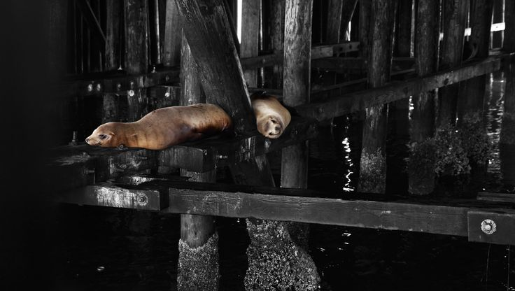 Santa Cruz Sea lions. California U.S.A. Photoartists.ca All images are available for purchase. We print on photographic paper or watercolour paper. We also print on canvas and cotton for stretchers. If interested in any of my works please email me at Brian@photoartists.ca Images are also available in trip tics and doubles (one image cut into 2 or 3 and gallery wrapped) to be displayed together.