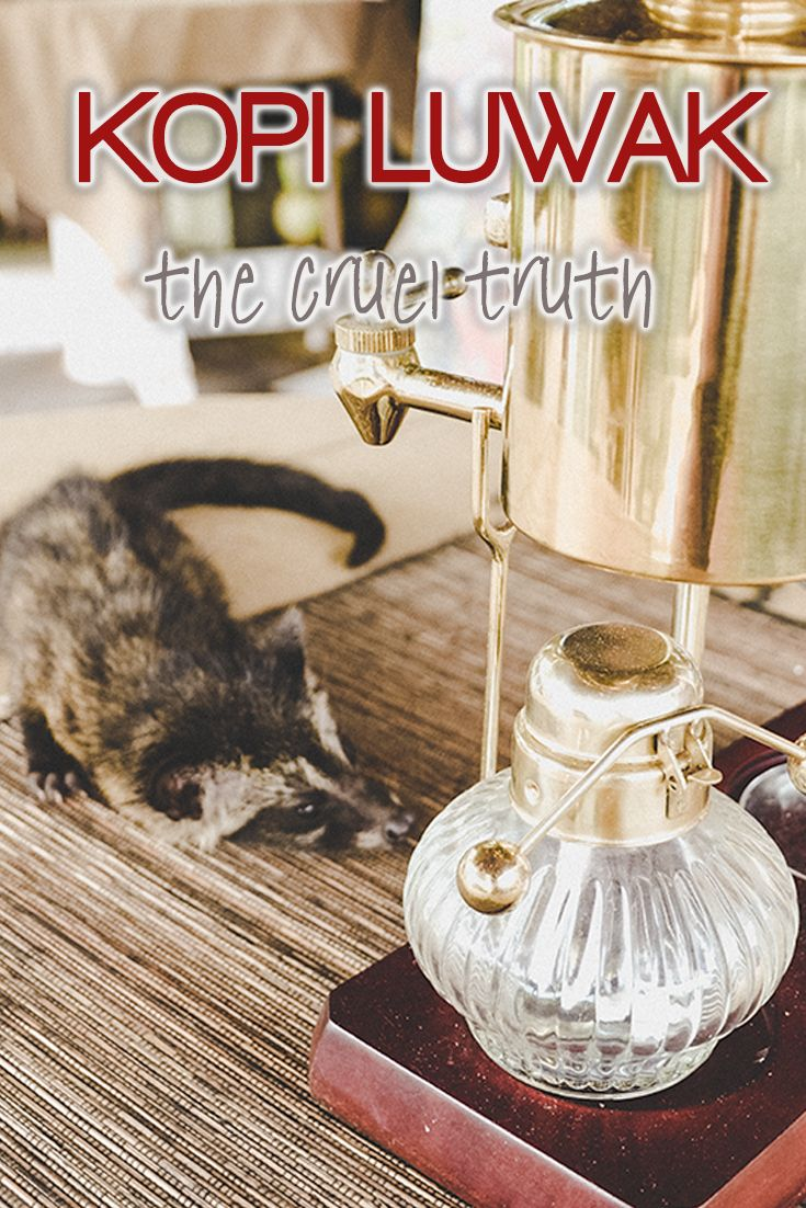Kopi Luwak is considered to be the best coffee in the world. A cup may cost up to 350 eur! How Kopi Luwak is made in reality?
