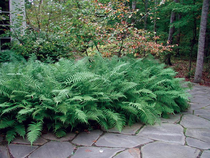 Southern woods fern is a good one for massing in shaded, moist beds.