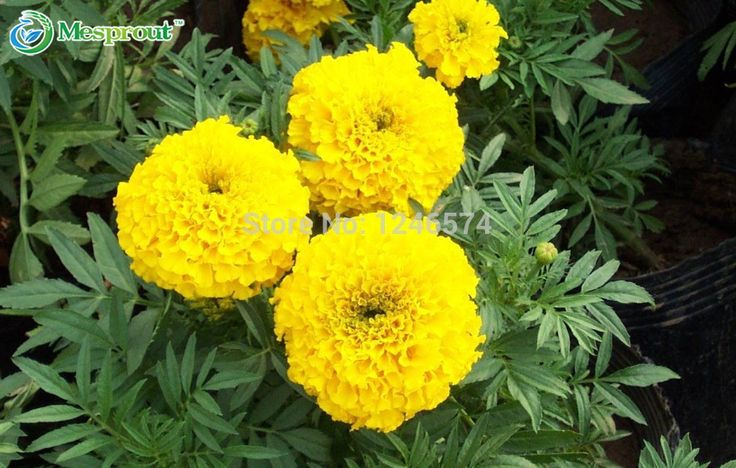 100PCS/bag Yellow African Marigold French Marigold Herbs Tagetes Erecta Flower Seeds Tagetes flower for home garden plant #Affiliate