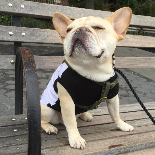 'Theo' the French Bulldog: