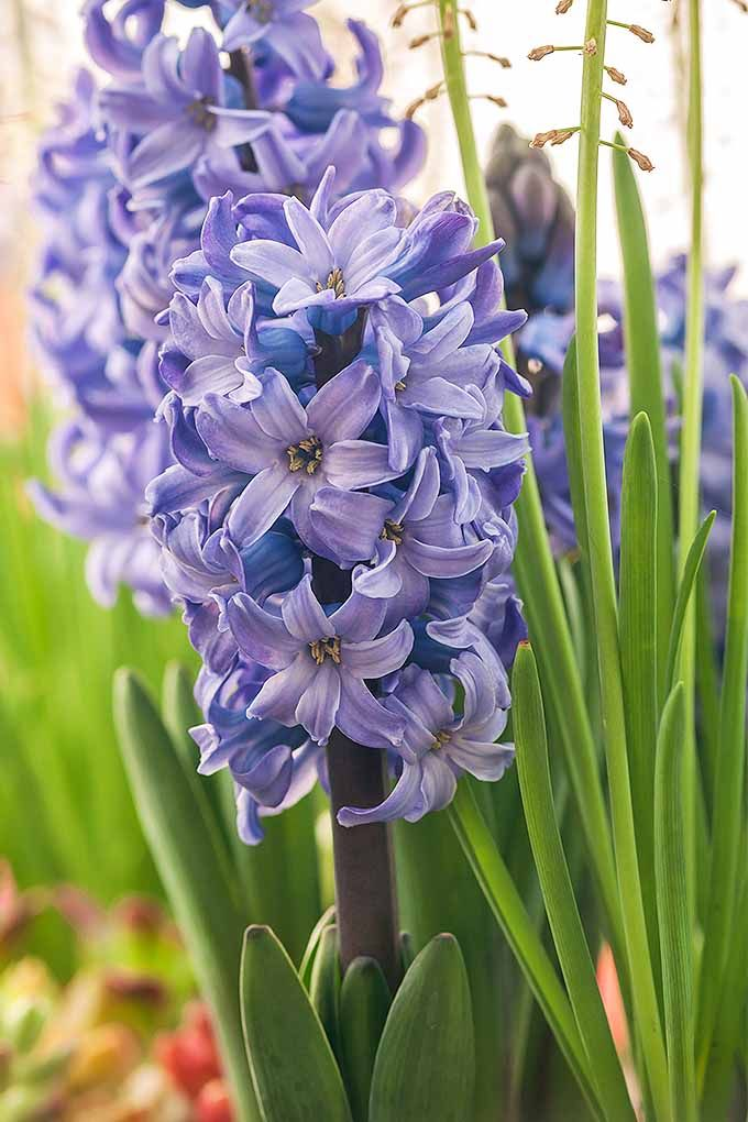 How To Grow Hyacinths For Rich Spring Color And Sweet Perfume Hyacinth Plant Beautiful Flowers Flowers