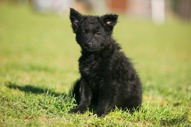 Mudi Puppy | Hungarian Mudi | Pinterest | Puppys