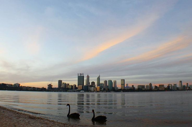 Swans on the Swan. A view of the city skyline from the shore of the Swan River in South Perth.