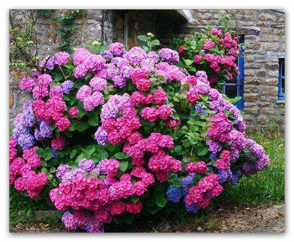 [ad#content] Пять причин посадить белую гортензию Многие цветоводы в погоне за красотой приобретают сорта древовидных гортензий различной по форме соцветий [...]