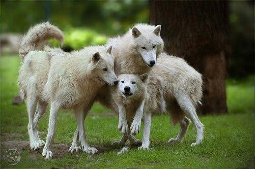Arctic wolves~
