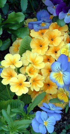 A couple of my all time favorite spring flowers....primrose and violas.