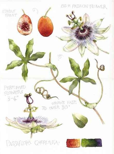 $264 Original watercolour painting of a Passion Flower. Passiflora caerulea flowers fruit and leaves.  Botanical art