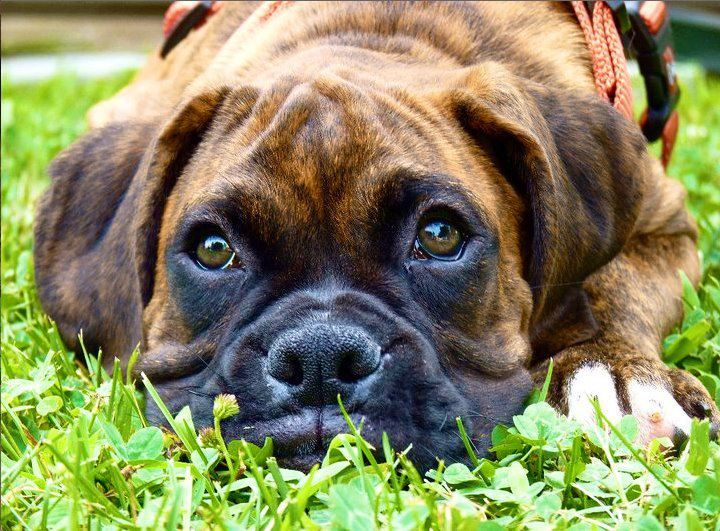 Boxer Puppy | by KrisFM03