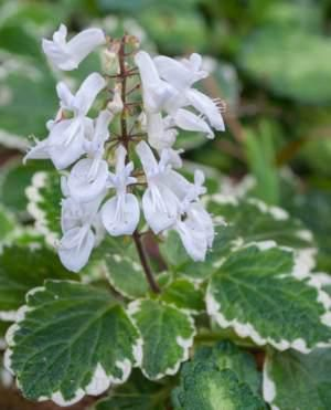 Plectranthus madascariensis 'Lynne' - This species is used in traditional medicine to treat coughs, colds and scabies. The pungent leaves and branches of Plectranthus species in general are sometimes hung around the home or rubbed on window sills to ward off flies.