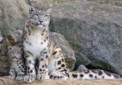 El leopardo de las nieves no puede rugir, pero tiene una cola majestuosa - Ojo Viral