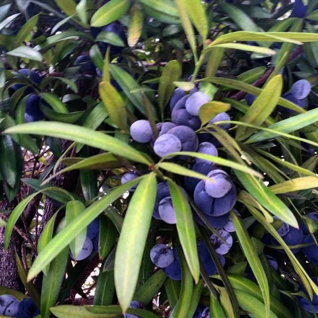 The fab fruits of the Australian native plum pine, Podocarpus elatus #bushfood #bushtucker #nativeplants
