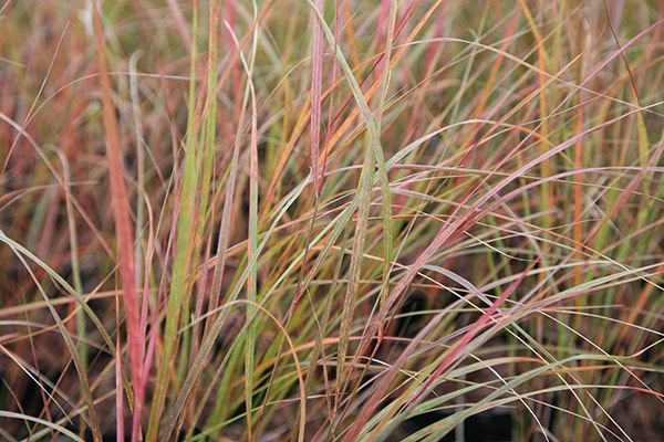 Buy pheasant's tail grass (syn. Stipa arundinacea) Anemanthele lessoniana: Delivery by Crocus.co.uk