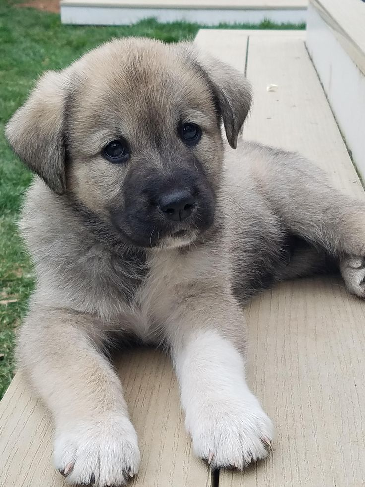 1/2 great pyrenees 1/4 german sheppard 1/4 chow/lab mix 8 week puppy