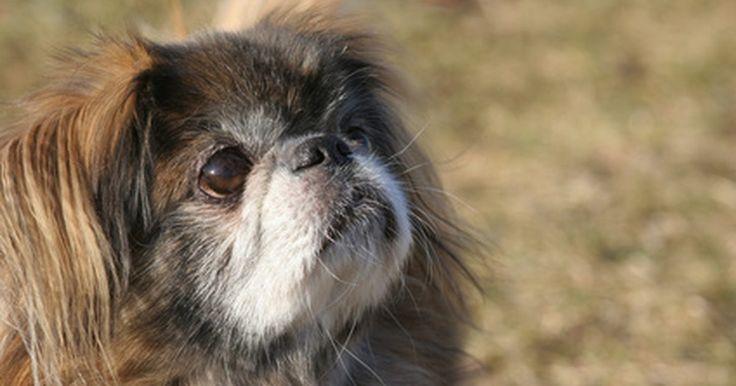 Cómo cuidar y mantener saludable a un perrito pequinés. El pequinés es un perro pequeño, y muy afectuoso que sirve de buena compañía. De acuerdo al Club Americano Kennel, el pequinés es inteligente y siempre está ansioso por aprender y requiere un mínimo de ejercicio diario. Este perro tiene pelo largo, áspero y recto y una capa de pelo suave bajo la superficie. Los cachorros son amorosos y obstinados, ...