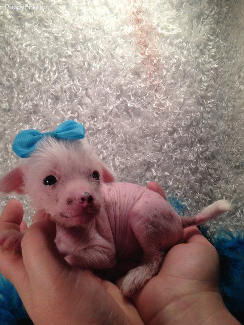 How f**king cute is this chinese crested puppy? I want four!