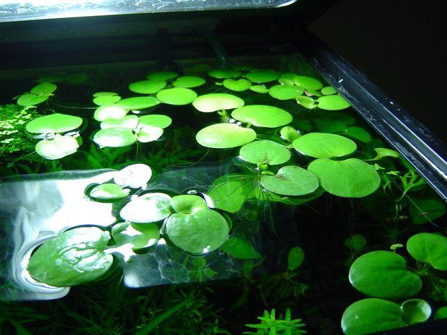 Amazon Frogbit - Limnobium laevigatum