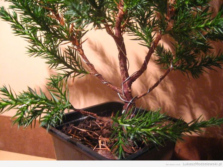 Bonsai wanna be ^^ the first stage of transformation #bonsai #DIY #wire