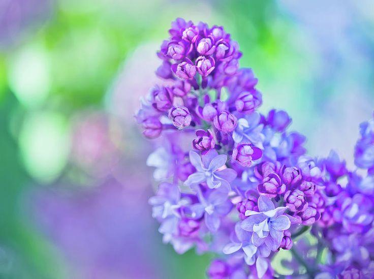 Lilac Flowers Photograph by Oksana Ariskina #OksanaAriskina #OksanaAriskinaFineArtPhotography  #Flower #ArtForHome #Green #Violet #FineArtPrints #InteriorDesign #PrintsForSale #Liliac #Bokeh #Spring