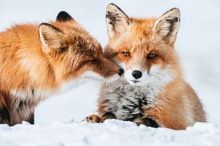 ¿Os acordáis de este hombre? Trabaja como minero en una zona perdida al noreste de Rusia y se dedica a hacer fotos a los zorros que allí habitan. :)