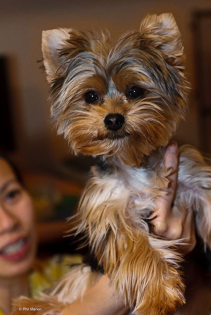 158 Best Cutest Yorkies Images On Pinterest