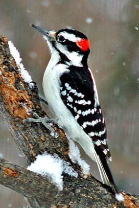 Hairy Woodpecker, a medium sized woodpecker, averaging 9.75 inches in length with 15 inch wingspan. The Hairy Woodpecker inhabits mature deciduous forests in the Bahamas, Central America, the United States, and Canada.