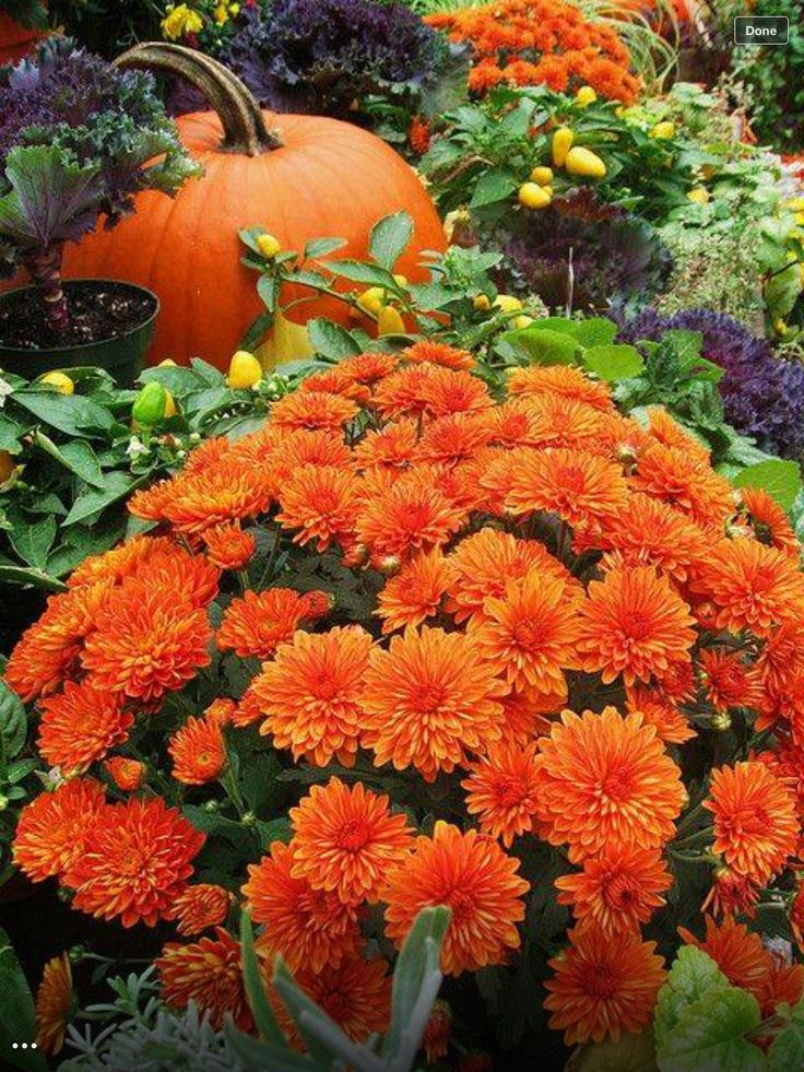 615 Best Mums And Pumpkins Images On Pinterest