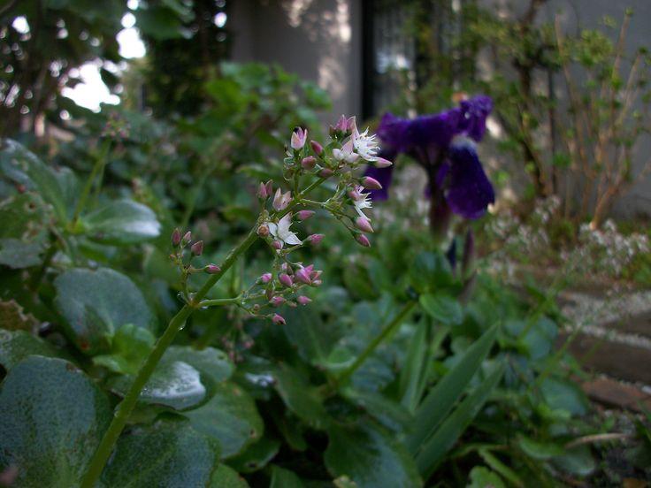 Crassula multiclava inter planted with Purple Iris.