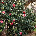 The McNeese State University campus has a beautiful camellia bush like this one outside of the Business Building.  It's always so pretty when it blooms.