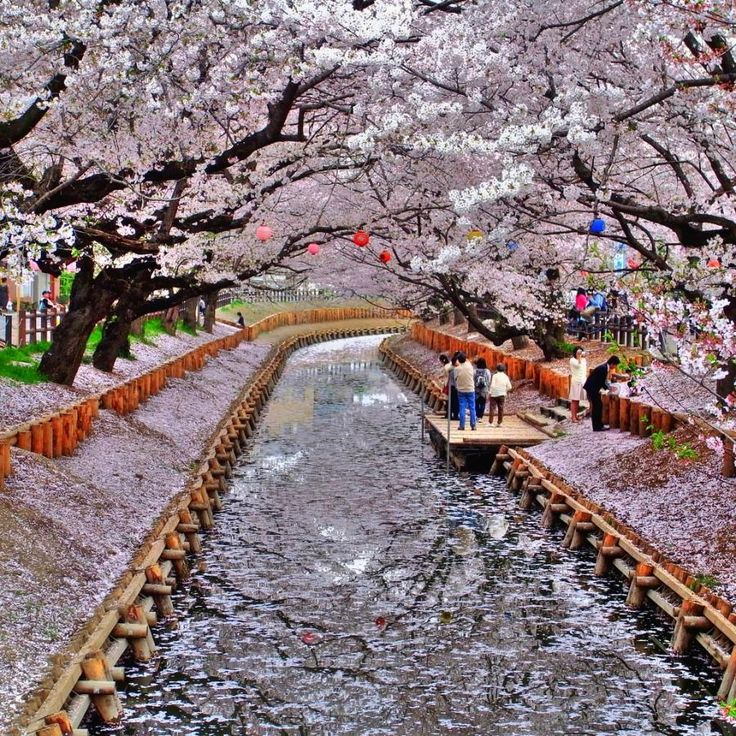 Cherry Blossoms in Bloom, Japan http://www.giftideasexposed.com/