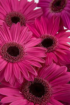 Dark Pink Gerbera Daisies. I might be tempted...