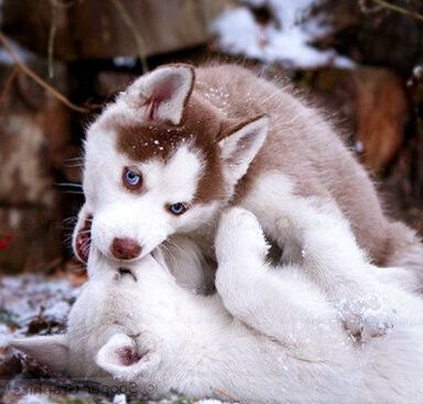 how to take care of your huskey puppy