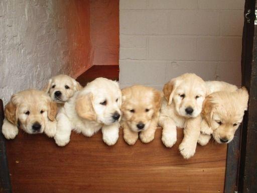 Golden Retriever Puppies For Free Adoption Whatsapp Us On 971581812652 In 2020 Golden Retriever Retriever Puppy Adoption