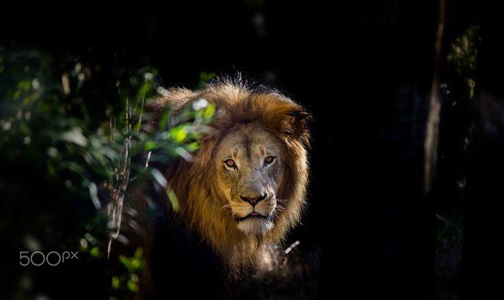 Lion - null