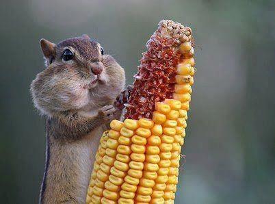 Greed: Lemonade Mouth, Chubby Cheek, Wildlife Photography, Chipmunks, Picnics Food, Sweet Cheek, Chubbycheek, Animal, Funnies Squirrels