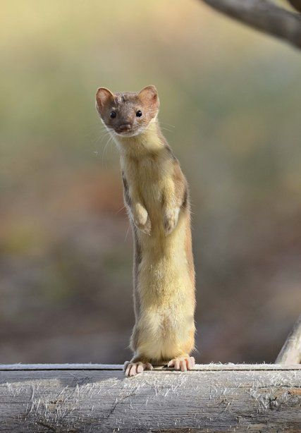 Weasels Are Built for the Hunt. Members of the mustelid family, including badgers, ferrets and otters, have evolved into remarkable predators.