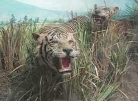 harimau di Museum Zoologi