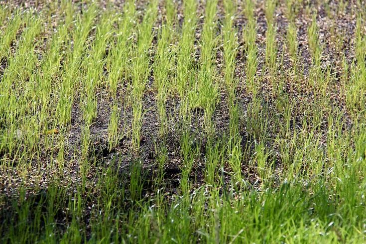 How long does it take for grass seed to germinate in 2020