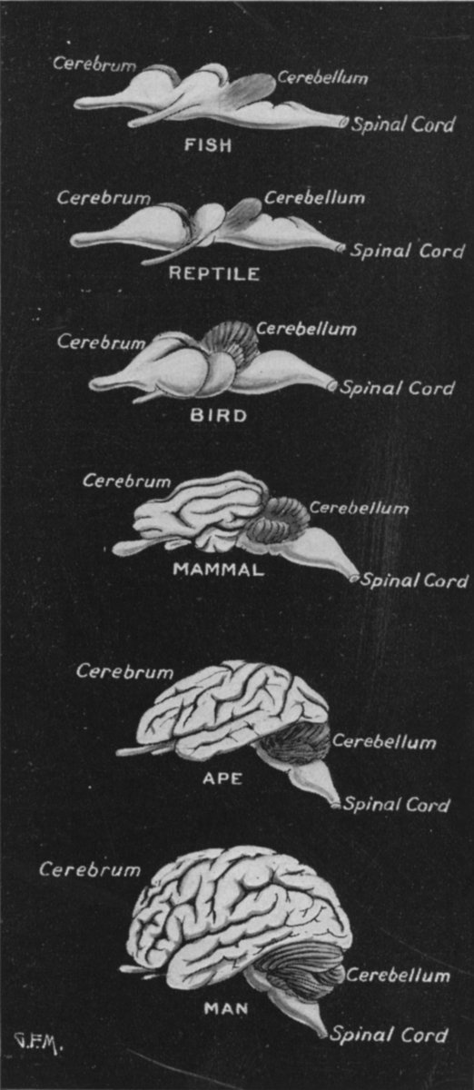 Anatomy - Brain - Comparative anatomy