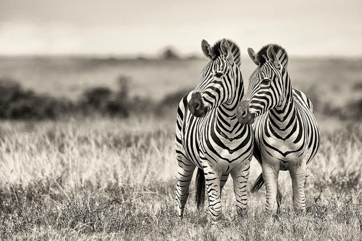 #Photography - Addo Zebras by Mario Moreno, via 500px