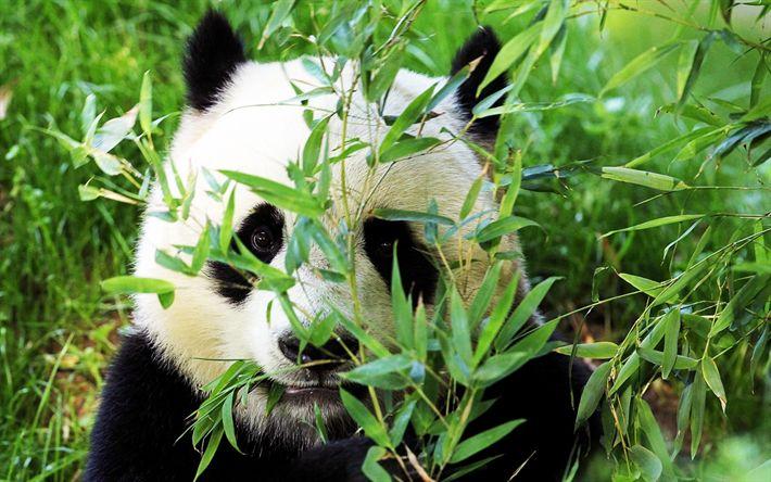 تحميل خلفيات الباندا, الغابة, الحياة البرية, الحيوانات لطيف, الدب