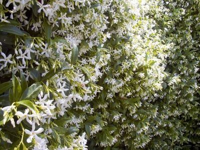 38 best klimplanten images on pinterest climber plants for Evergreen climbing plants for privacy